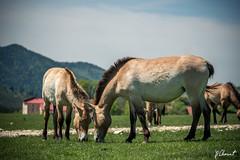 JPC_1163-2 (jp.clement12) Tags: horse mountain green nature water forest montagne reserve doe bison preserve mont fort verdure chevaux plaine dazur biche gazon