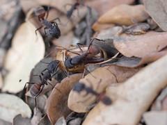 P1030913 (Dr Zoidberg) Tags: hormigas escarabajo zuiko50mmmacro