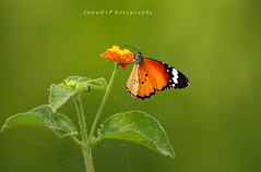 Beauty of Nature II (Jawad_Ahmad) Tags: pakistan light green nature colors beauty butterfly photography natural bokeh tiger feathers photograph plain naturelover sialkot jawads naturesphotography