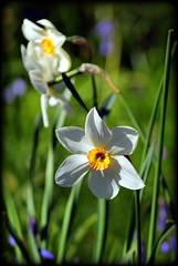 Narcissus (* RICHARD M) Tags: plants nature beauty woodland petals spring flora stamen april wildflowers blooms naturalbeauty botany southport narcissi mothernature stalks springtime narcissus parkland merseyside sefton heskethpark narcisseae