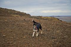 4mai_Thorbjorn_024 (Stefn H. Kristinsson) Tags: dog mountain dogs iceland spring hiking may ma vor hundur sland ganga fjallganga tamron2875mm grindavk hundar grindavik orbjrn nikond800 thornbjorn orbjarnarfell