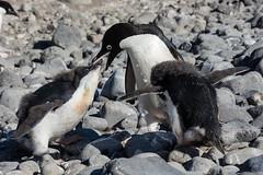 Adelie Penguin Chicks Feeding (Barbara Evans 7) Tags: island penguin feeding off barbara chicks peninsula antarctic paulet adelie evans7