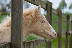 Foal (Infomastern) Tags: horse animal foal djur hst fl