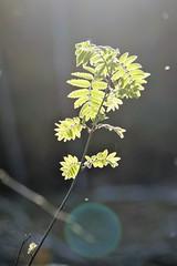 rönn i kvällsljus (aggeji) Tags: fs160522 ljus fotosondag outdoor worldbest