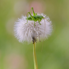 Grillo en Diente de Len (pajavi69) Tags: naturaleza flower macro planta nature animal insect freshair nikon bokeh flor cricket campo insecto hierba profundidaddecampo grillo airelibre 105mm dientedelen macrofotografia macrofotografa microphotographing