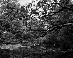 Backlit leaves in a small ravine (Hyons Wood) (Jonathan Carr) Tags: bw white abstract black tree monochrome leaves rural landscape oak ravine 4x5 northeast largeformat 5x4 anstraction hyonswood