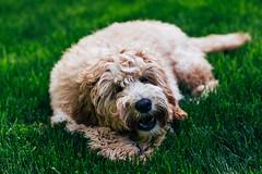 IMG_2037 (masemase) Tags: family dog holiday puppy pennsylvania swiss may luna ridge doodle labradoodle newhope mothersday yardley swissridge