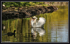 04.05.16 Beddington Lake..Protecting.. (Tadie88) Tags: nature swan wildlife surrey goslings canadiangeese coot wallington beddingtonpark beddingtonlake canoneos70d