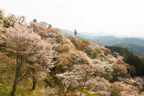 吉野桜 / Cherry Blossoms in Yoshino