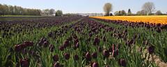 tulpenvelden nabij Hijken (willemsknol) Tags: flowers tulpe willemsknol