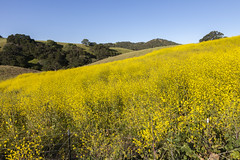 Hills of yellow (Lucie Maru) Tags: flowers yellow spring hill rollinghills
