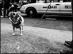 gramdog (mfive6) Tags: dog newyork nikon manhattan streetphotography p7000