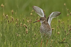 REDSHANK / ELMLEY MARSHES / KENT / U.K (Tom Webzell) Tags: naturethroughthelens