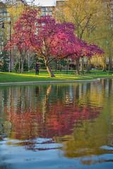 P1000818 (sswee38823) Tags: city flowers reflection tree water boston reflections 50mm spring lagoon apo summicron 50 bostonma floweringtree bostonpublicgarden bostonpublicgardens summicron50mm aposummicron leicaaposummicronm50mmf2asph summicron50mmapo aposummicron50 leicaaposummicronm50mmasph leicaaposummicronm50mmf2asphfle aposummicronm1250asph leicaapo502 50aposummicron leica50apo