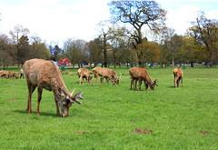 stagsedited (paulbeardmore1) Tags: nottingham nature stag wildlife deer wollaton wollatonhall
