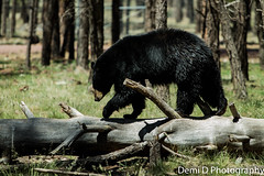BlackBearMarked05 (1 of 1) (coldtrance) Tags: bear arizona black animal canon mammal outdoors wildlife blackbear canont3