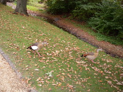 Nilgans , NGIDn1914326448 (naturgucker.de) Tags: badhomburg naturguckerde schlospark nilgansalopochenaegyptiacuss csabineblei ngidn1914326448