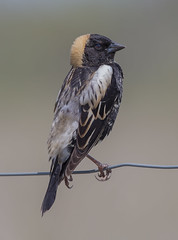 Bobolink (Phiddy1) Tags: ontario canada birds canon sigma bobolink phiddy