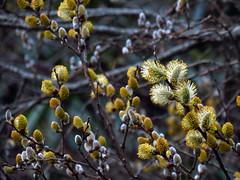 Pussy Willow (BlueRidgeKitties) Tags: plant tree catkin botany blueridgeparkway pussywillow salix westernnorthcarolina southernappalachians yonahlosseeoverlook canonpowershotsx40hs