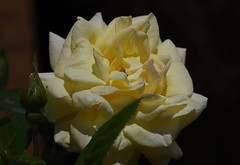 DSC_1575 Rose (PeaTJay) Tags: flowers roses plants macro nature rose gardens fauna outdoors reading flora micro closeups berkshire rosebuds lowerearley nikond750
