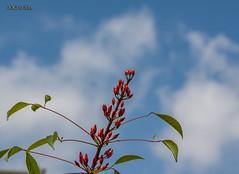 Leipzig, Botanischer Garten, Outdoor (joergpeterjunk) Tags: leipzig botanischergarten outdoor pflanze canoneos50d canonef100mmf28lmacroisusm busch fruchstand bluesky blauerhimmel wolken