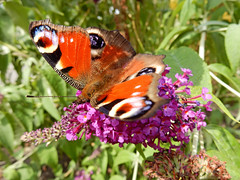 Aglais Io* (N0774) (Le Photiste) Tags: nature animals wow butterfly interesting nikon wildlife ngc photographers insects clay coolpix soe dagpauwoog fairplay giveme5 planetearth autofocus photomix ineffable peacockbutterfly prophoto friendsforever tagpfauenauge inachisio finegold dagpfuglye greatphotographers themachines dagpfugleje lovelyshot digitalcreations paondujour europeanpeacock beautifulcapture vanessaio pfgelga mariposapavoreal damncoolphotographers myfriendspictures artisticimpressions simplysuperb digifotopro afeastformyeyes occhiodipavone iqimagequality yourbestoftoday saariysqualitypictures hairygitselite worldofdetails planetearthnature lovelyflickr vividstriking naturesprime universalart aglaisio blinkagain deipaueach theredgroup photographicworld planetearthwildlife aphotographersview thepitstopshop thelooklevel1red showcaseimages mastersofcreativephotography creativeimpuls vigilantphotographersunitelevel1 cazadoresdeimgenes rainbowofnaturelevel1red livingwithmultiplesclerosisms infinitexposure djangosmaster bestpeopleschoice s9900