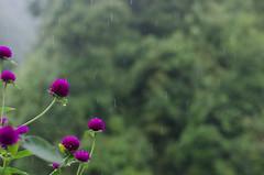 Vietnam 2016-24 (mathur7) Tags: vietnam hanoi hoian street markets lagoons backwaters lakes river lanterns vacation holiday sapa rains sunsets halongbay beach ocean limestone rocks cliffs boats traveling tripping light magic culture