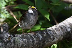 Bruant à gorge blanche -- White-throated sparrow (Sylvain Prince) Tags: gorgeblanche whitethroated sigma150600c
