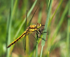 dragonfly.. (quarzonero ...Aldo A...) Tags: dragonfly libellula insect nature coth sunrays5 coth5