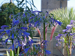 Blossoming (chericbaker) Tags: agapanthus roofterrace roofgarden
