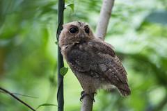 Sunda Scops Owl (MEphotog) Tags: sunda scops owl
