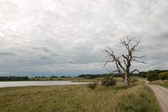 Bogns peninsula, close to Roskilde (Raphs) Tags: danmark denmark bogns roskildefjord deadwood tree old bare dead gnarled path track water sea overcast clouds grassland meadow landscape calm view raphs canoneos70d tamronspaf1750mmf28xrdiiildaspherical single countryside autumn fall