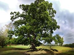 Oak (Alienated Romantic) Tags: fs160911 natur fotosondag oak stitch from 12 exposures ek sverige sweden stergtland roxen grensholm