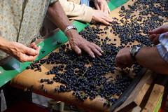 Sorting the wine grapes (Dannis van der Heiden) Tags: winegrapes grapes bluegrapes sorting winary vinyard aandebreedebeek nijkerk netherlands slta58 sigma18300mm