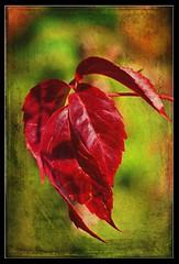 Das rote Blatt (Harald52) Tags: herbst laub blatt texturen natur