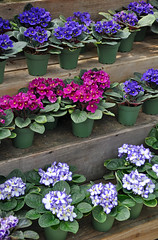 Pink and purple african violets (Perl Photography) Tags: africanviolet violets flowers floral blossoms blooms petals blooming flowerpot planter florist garden spring botanical leaves gardening pink purple shelf nature