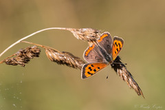 Small Copper-5741 Explored (WendyCoops224) Tags: 100400mml 70d canon eos localbirdswildlife â©wendycooper small copper explore explored butterfly