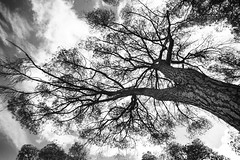 Madrid. 2015. [Explore] (Jose_Prez) Tags: madrid villaviciosadeodon arbol blancoynegro byn blackwhite bw rbol contrapicado