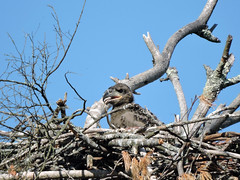 eaglet522_10 (GWP Photography) Tags: bird animal nikon nest eagle outdoor pennsylvania pair adler baldeagle pa coolpix eaglesnest nesting eaglet aquila orel águia aigle waynecounty águila 老鷹 orzeł babyeagle milanville örn נשר ワシ eaglechick орел عقاب upperdelawareriver αετόσ waynecountypa coolpixp600 אָדלער