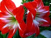 Amaryllis (TeresalaLoba) Tags: flowers flores garden spain lily jardin galicia amaryllis bulbs vigo redflowers lirios hippeastrum amarillis bulbos amaryllishippeastrum liriosrojos teresalaloba hippeastrumspp casadegabriela amarydillaceae floresrojasgrandes amaryllis010