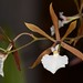 Encyclia bractescens x nematocaulon – Anita & Jerry Spencer
