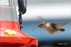 Hummingbird-Approaching (sh10453) Tags: leica usa nature birds outdoors hummingbird michigan wildlife panasonic oakpark longzoom fz200