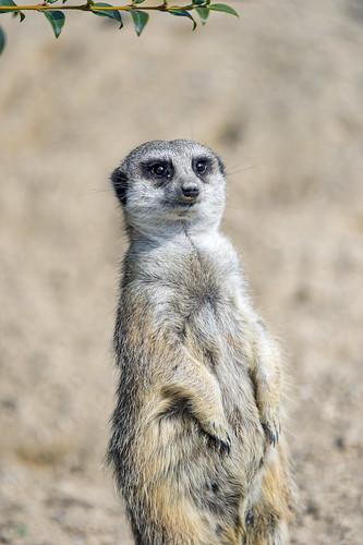 Another meerkat