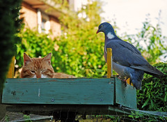 friends or foes? (Athanassia) Tags: cat kat pigeon duif