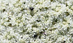 luxury (breboen) Tags: white plant flower bug insect luxury abundance