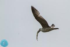 First days of May at Nemunas Delta RP... (_alcedo_) Tags: nature birds gulls pike lithuania migrant breeder caspiangull laruscachinnans wintering nemunasdelta ming borisbelchev wwwalcedowildlifecom nemunodeltarp