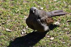 Apostlebird (Luke6876) Tags: bird animal wildlife australianwildlife apostlebird