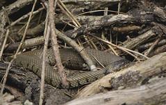 Fat Grass Snake (Kentish Plumber) Tags: nature log nikon reptile snake wildlife scales nikkor basking grasssnake d610 natrixnatrix nbw 1050mmf28