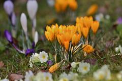 CA4A4121 (janoschg) Tags: flower germany stuttgart blume krokus badenwrttemberg canoneos5dmarkiii canon5dmarkiii stuttgart2016 stuttgartmrz2016