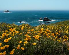 Marine Poppies (|Sorodoros|) Tags: california flowers mist mountains water fog pacific bigsur poppies oceansea
